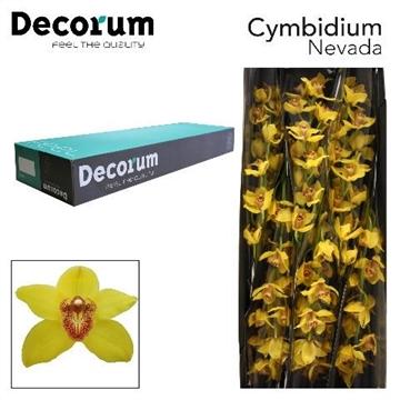 CYMB T NEVADA Decorum 6