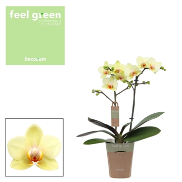 Phal. Cancun - 2 spike 9cm Feel Green