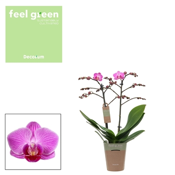 Phal. Vienna - 2 spike 9cm Feel Green