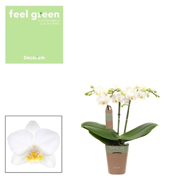 Phal. Snowflake - 3 spike 9cm Feel Green