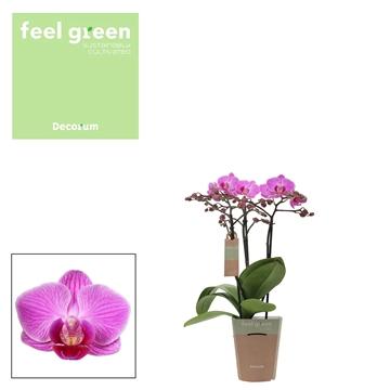 Phal. Vienna - 3 spike 9cm Feel Green