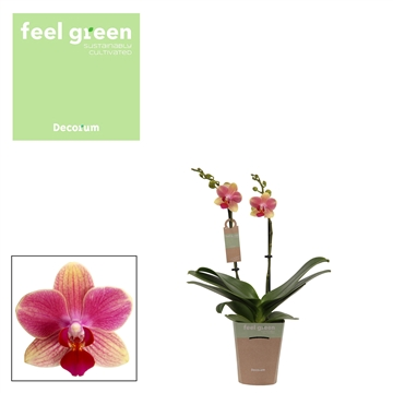 Phal. Summersong - 2 spike 9cm Feel Green