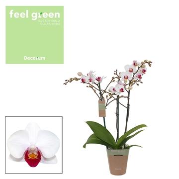 Phal. Daisy - 3 spike 9cm Feel Green