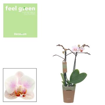 Phal. Yilan - 2 spike 9cm Feel Green