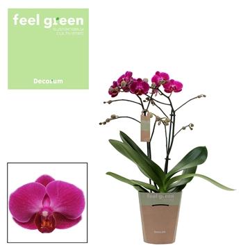 Phal. Morelia - 2 spike 12cm Feel Green