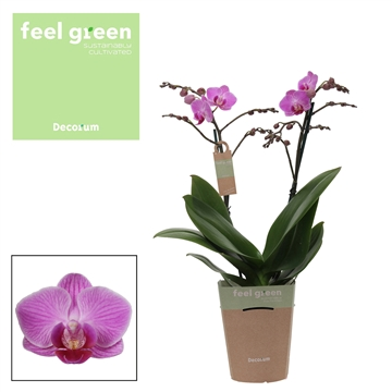 Phal. Vienna - 2 spike 12cm Feel Green