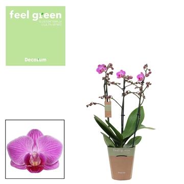 Phal. Vienna - 3 spike 12cm Feel Green