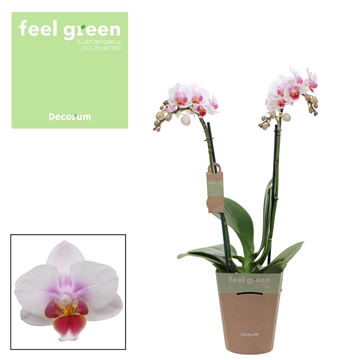 Phal. Sweetheart - 2 spike 12 cm Feel Green