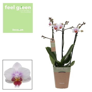 Phal. Sweetheart - 3 spike 12cm Feel Green