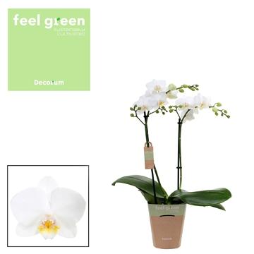Phal. Snowflake - 2 spike 12cm Feel Green
