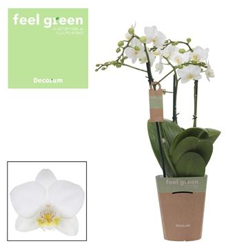 Phal. Snowflake - 3 spike 12cm Feel Green