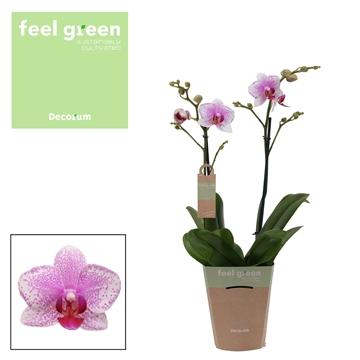 Phal. Rotterdam - 2 spike 12cm Feel Green