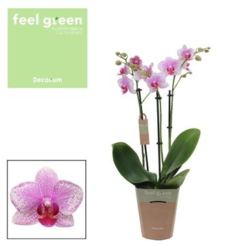 Phal. Rotterdam - 3 spike 12cm Feel Green