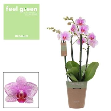 Phal. Rotterdam - 4 spike 12cm Feel Green