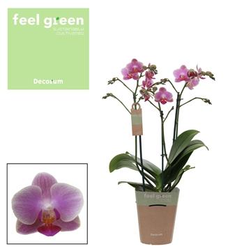 Phal. Sogo Tinna - 3 spike 12cm Feel Green