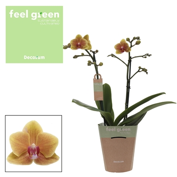 Phal. Grazia - 2 spike 12cm Feel Green