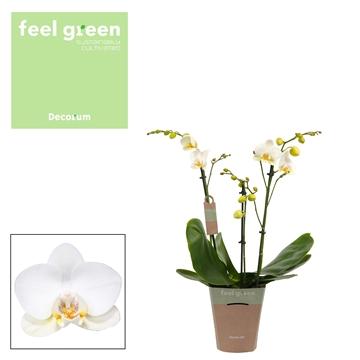 Phal. Reyoung Adora - 3 spike 12cm Feel Green