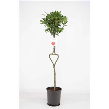 Hartvormige stam Laurus nobilis