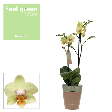 Phal. Sunshine - 2 spike 12cm Feel Green