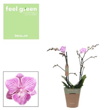 Phal. Queena  -  2 spike 12cm Feel Green