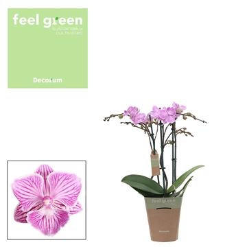 Phal. Queena  -  3 spike 12cm Feel Green