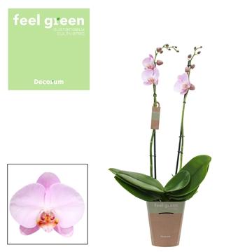 Phal. Pink Peace - 2 spike 12cm Feel Green