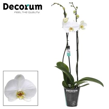 Phal. White bigflower - 2 spike 12cm