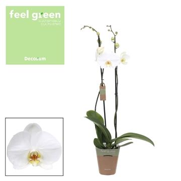 Phal. White bigflower - 2 spike 12cm Feel Green