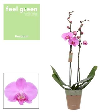Phal. Bloomington - 2 spike 12cm Feel Green