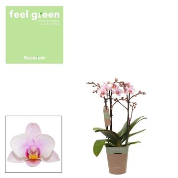 Phal. Steffi 8 - 3 spike 9cm Feel Green