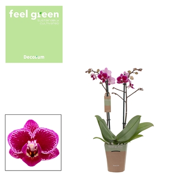 Phal. Hornglin - 2 spike 9cm Feel Green