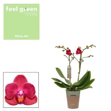 Phal. Cute Holly 15 - 2 spike 9cm Feel Green