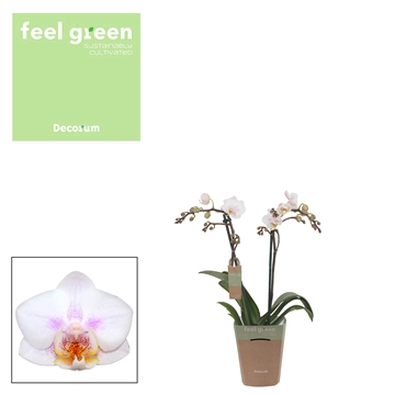 Phal. Neele 8 - 2 spike 9cm Feel Green