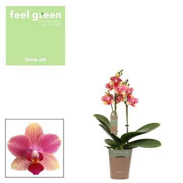 Phal. Summersong - 3 spike 9cm Feel Green