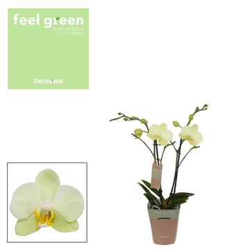 Phal. Cali - 2 spike 9cm Feel Green