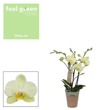 Phal. Cali - 3 spike 9cm Feel Green