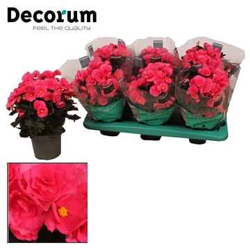 Begonia ''adonia pink'' paars 13cm