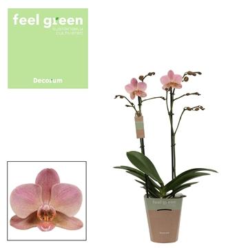Phal. Treviso - 2 spike 12cm Feel Green