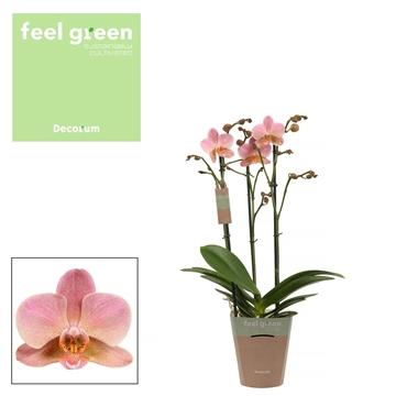 Phal. Treviso - 3 spike 12cm Feel Green