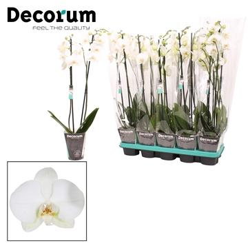 Phalaenopsis 2-Tak decorum grootbloemig wit 75cm