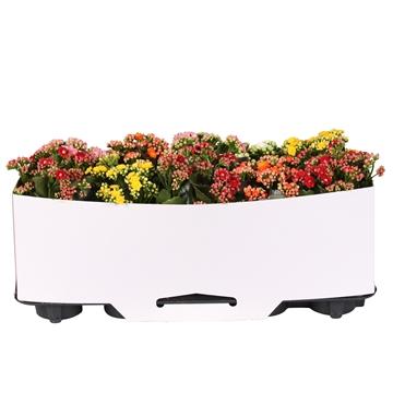 Kalanchoe bloss. gevuld Calandiva mix 5 kleuren met kartonnen kraag