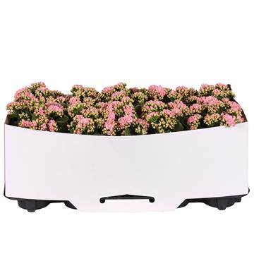 Kalanchoe bloss. gevuld Calandiva Pink met kartonnen kraag
