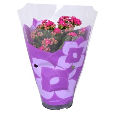 Kalanchoe bloss. gevuld Calandiva Ton sur Ton Purple