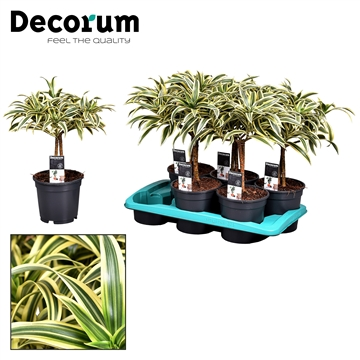 Dracaena Song of India op stam (Decorum)