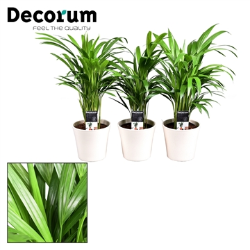 Collectie Moments - Dypsis lutescens (Areca) in pot Coco Créme