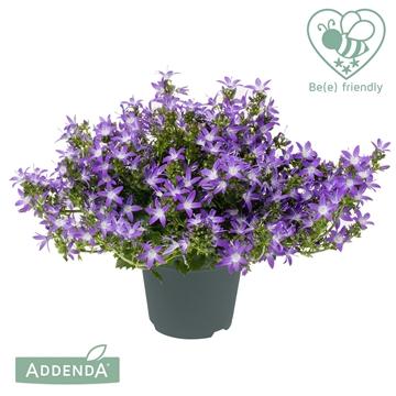Campanula Adansa® Purple