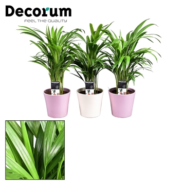 Collectie Moments - Dypsis lutescens (Areca) in pot Coco Créme+Roze