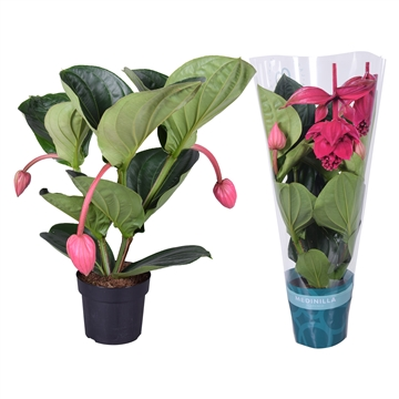 Medinilla magnifica Flamenco 2 etage 3 flower buds in X-clusive sleeve