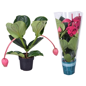 Medinilla magnifica Flamenco 2 etage 2 flower buds in X-clusive sleeve