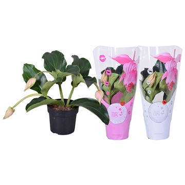 MoreLIPS® Medinilla magnifica 'Pinatubo' 3 knop in ShowHoes